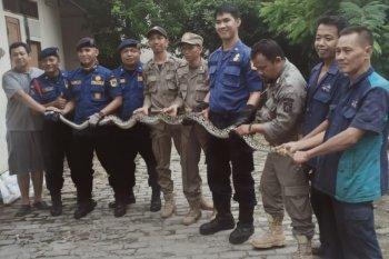 Petugas Damkar Jakarta tangkap ular sanca di pemukiman