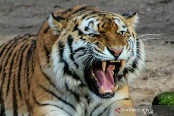 Disaksikan istri sendiri, petani kopi tewas diterkam harimau