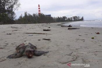 Kanopi desak BKSDA usut kematian 27 penyu di Bengkulu