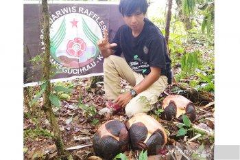 Tiga Rafflesia arnoldii siap mekar di Kaur