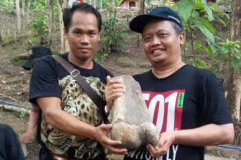 Warga Indramayu temukan fosil gajah purba stegodon