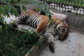 Seekor harimau dievakuasi ke Lampung