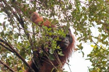 BKSDA-IAR Indonesia lakukan penyelamatan orang utan dari dampak tambang ilegal
