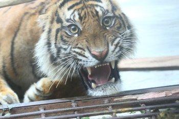 Harimau muncul di proyek jalan tol kagetkan pekerja