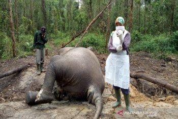 Bayi gajah sumatera mati di PLG Riau