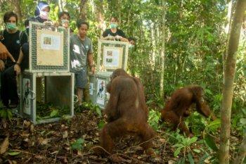 Lima orangutan dilepasliarkan di Taman Nasional Bukit Baka-Bukit Raya