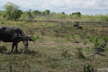 Pakan minim, puluhan ternak di Sumba Timur mati kelaparan