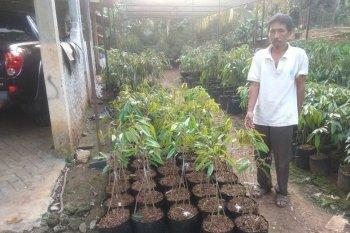Petani Lebak kembangkan durian varietas unggul jenis MK Hortimart