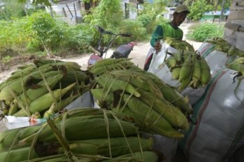 Petani Sigi panen jagung