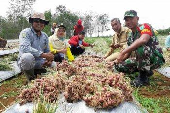 Babinsa dan petani Sanggau Ledo panen bawang merah