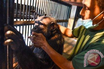 Simpanse Sakit KBS