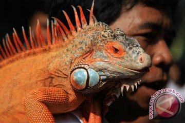 Komunitas Pencinta Iguana