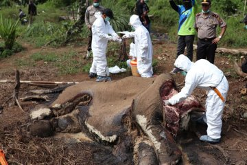 Identifikasi Gajah Mati Bengkulu
