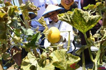 Menteri BUMN Panen Melon di Lamongan