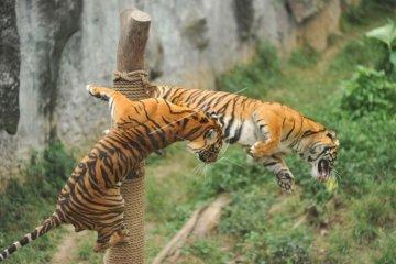 Harimau Sumatera di taman margasatwa Bukitinggi