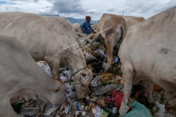 Ternak Sapi di TPA Sampah