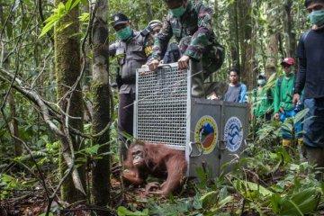 Lepasliar Orangutan