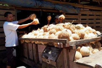 Buah kelapa petani Pesawaran Lampung