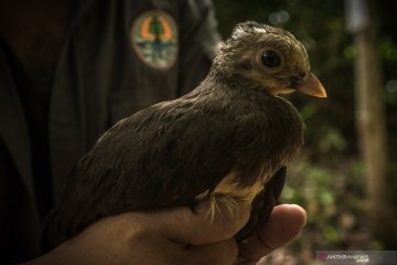 Pelepasliaran anak burung Maleo