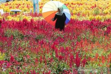 Wisata taman bunga celosia
