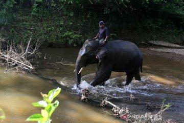 Patroli hutan dengan gajah sumatra