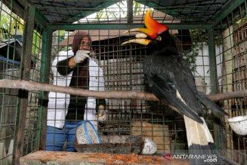Rangkong Badak Sitaan BKSDA Aceh