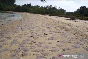 Fenomena ubur-ubur terdampar, ini kata akademisi kelautan
