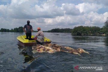 Pakar: Bangkai babi yang dibuang ke sungai bisa picu infeksi