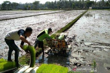 Pemkab Garut siapkan 100 ton bibit padi untuk lahan terdampak puso