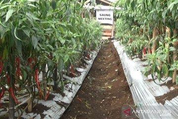 Surplus cabai merah Sukabumi capai 200 kuintal