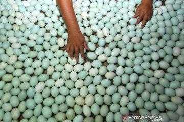 Penetasan Telur Itik Alabio