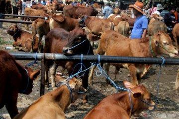 Produksi daging sapi nasional