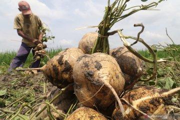 Keberhasilan petani bengkuang