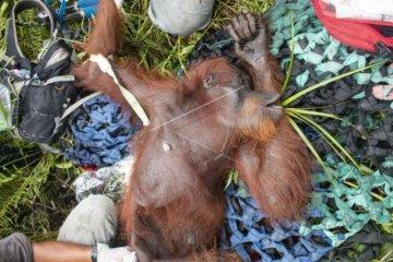 Penyelamatan orangutan akibat karhutla