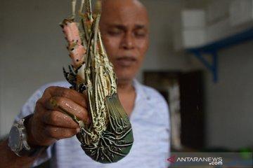Ekspor Lobster anjlok
