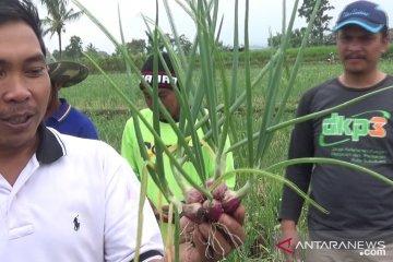 Bawang merah kualitas super dikembangkan petani Sukabumi