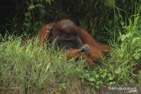37 orangutan kena ISPA akibat kabut asap