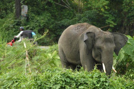 Kawanan gajah berkeliaran, sudah banyak korban