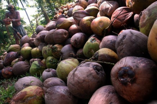 5.500 ton minyak kelapa Sulawesi Utara diekspor ke Malaysia