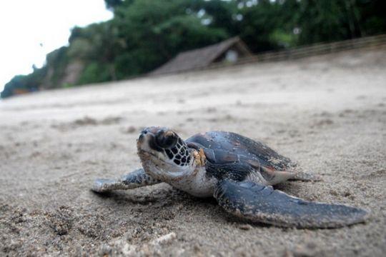Lindungi Penyu Pulau Enggano