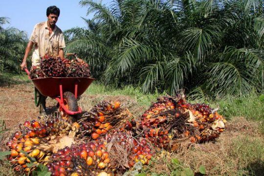 Ratusan perusahaan sawit di Sintang belum miliki HGU