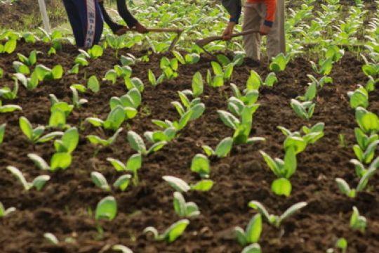 Jelang musim tanam, petani tembakau Probolinggo semai bibit