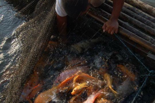 Ratusan ton ikan di Waduk Cirata-Saguling mati
