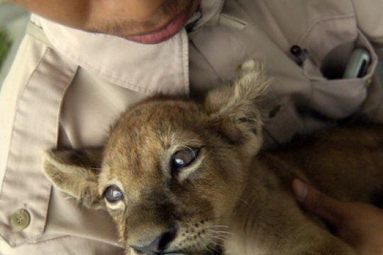 Tiga anak singa lahir sehat di Taman Satwa Cikembulan