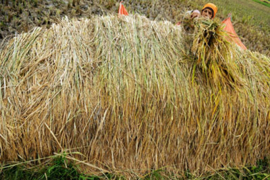 Filipina setujui penggunaan komersial beras rekayasa genetika