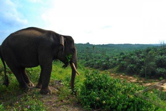 Gajah Liar Rusak Kebun Warga Rokan Hilir