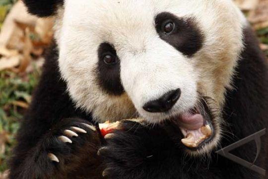 Panda Tertua di Dunia Mati Usia 34 Tahun