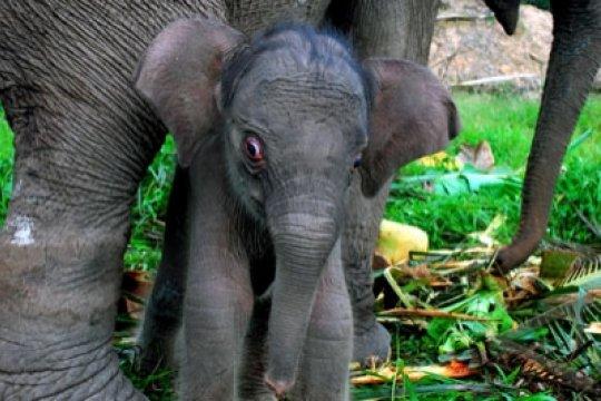 Eijkman-WWF kerja sama konservasi gajah Sumatera