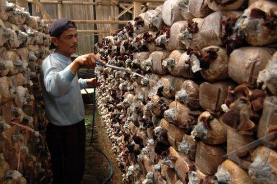Pemkab Bantaeng - Unifa Kerjasama Budidaya Jamur Merang