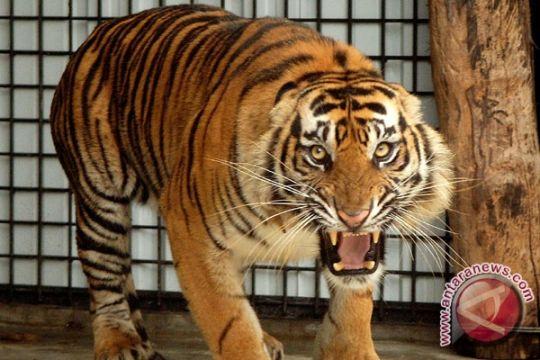 Satu pekerja ditemukan tewas diterkam harimau di Tambling